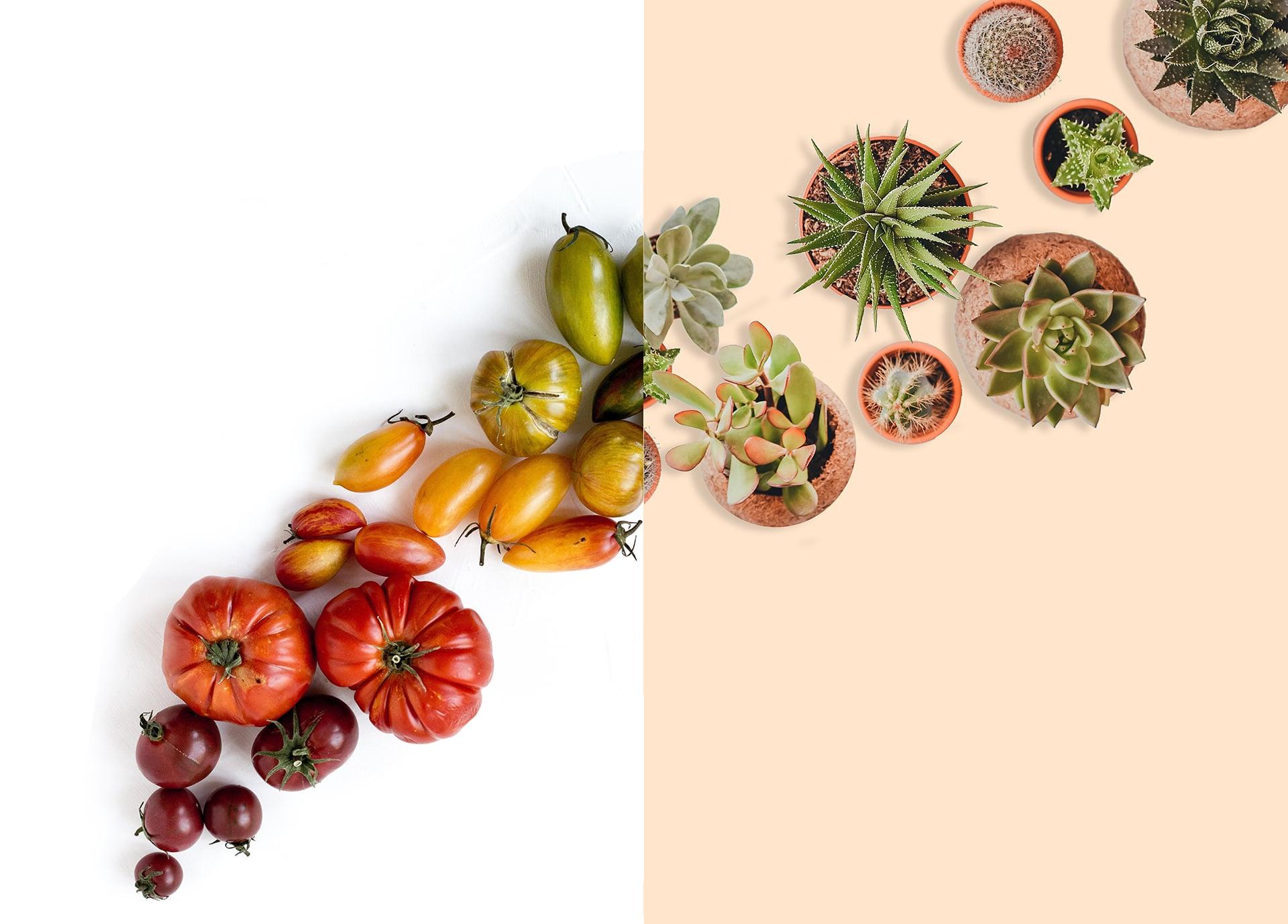 Les tomates atomiques