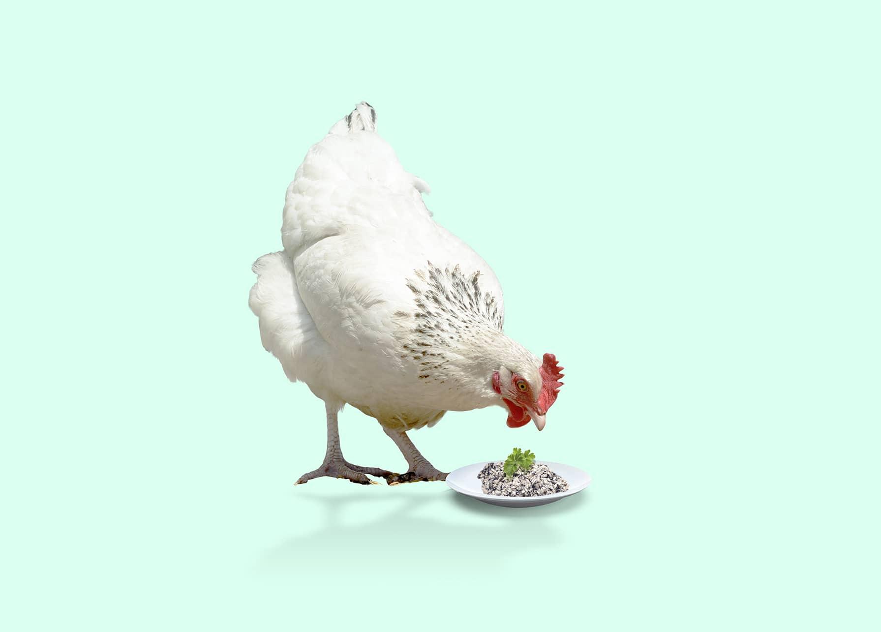 Poulet sans terre