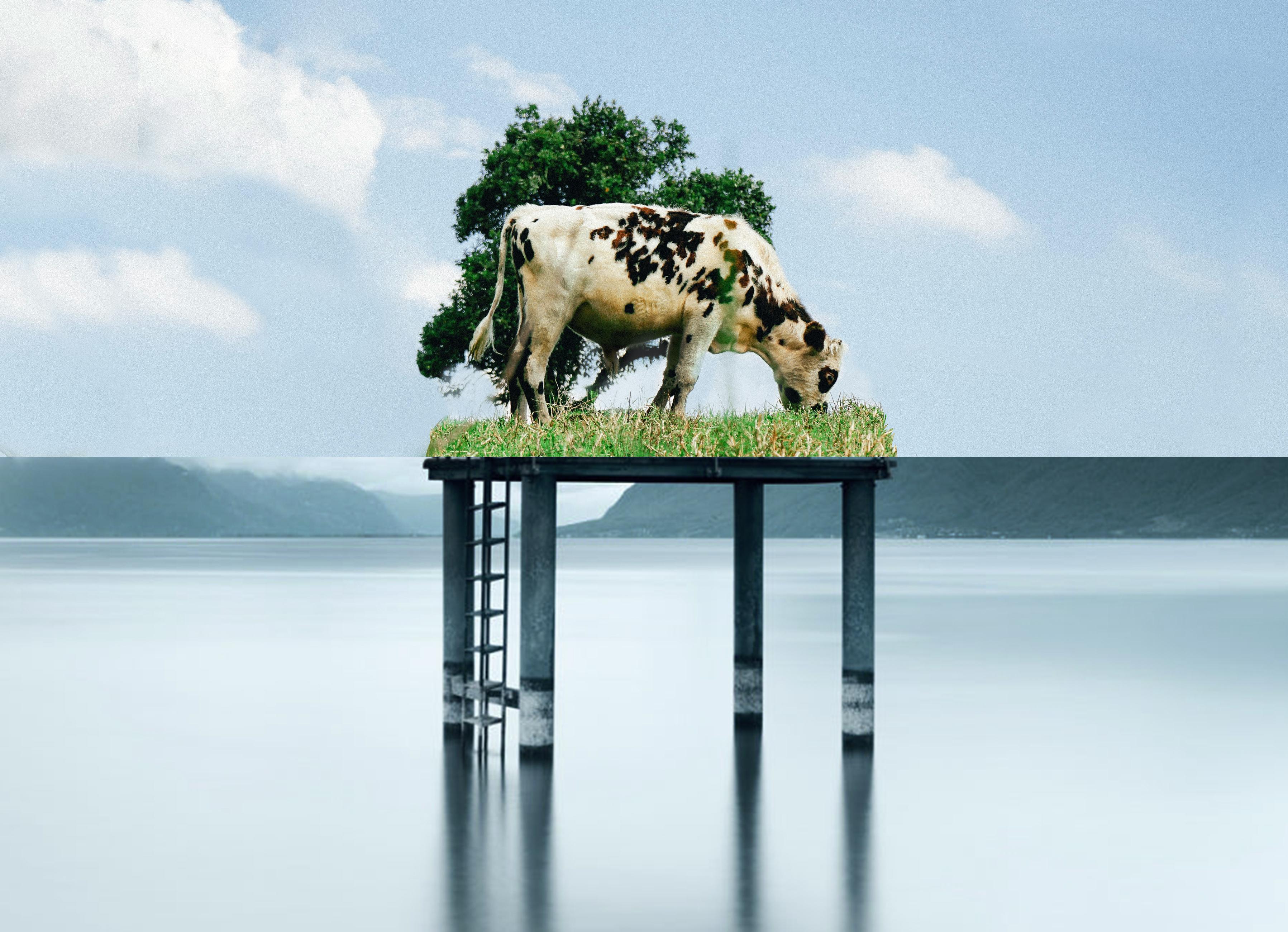 Vaches à la plage !