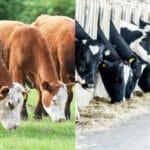 Vive la vache libre!